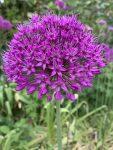 A purple flower and green grass