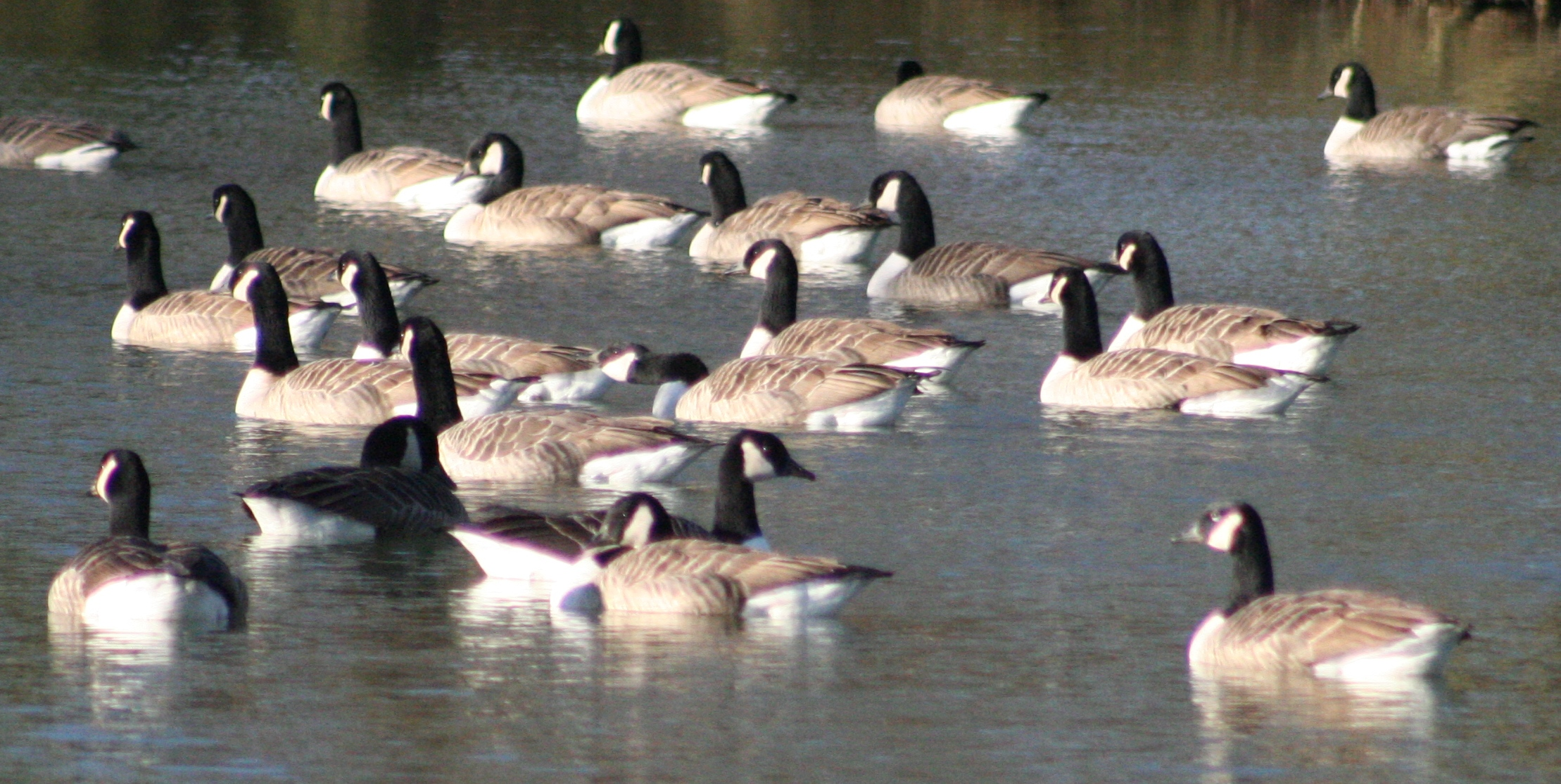 A flock of ducks on a body of water